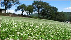 長瀞花の里蕎麦の花