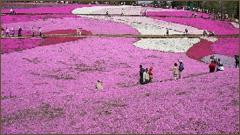 秩父羊山公園芝桜