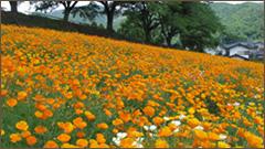 長瀞花の里花菱草