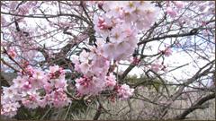 長瀞不動寺通り抜けの桜